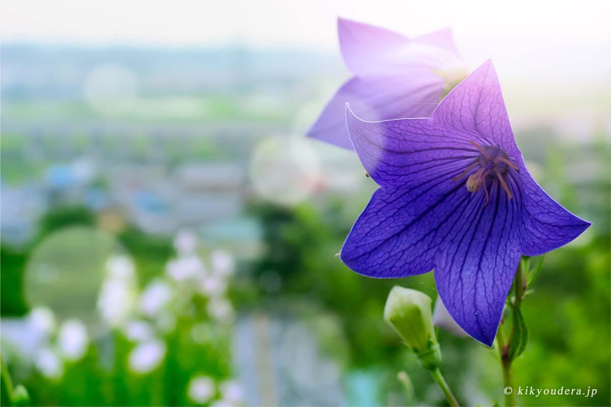 ききょう寺(香勝寺)「十五種四万五千株 百万本以上 日本最大級のききょう園」